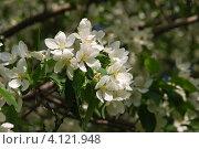 Купить «Крупные цветы яблони», фото № 4121948, снято 19 января 2020 г. (c) Анна Омельченко / Фотобанк Лори