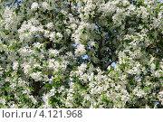 Купить «Природный фон из цветов яблони», фото № 4121968, снято 19 января 2020 г. (c) Анна Омельченко / Фотобанк Лори