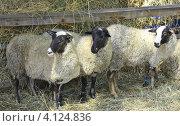 Купить «Три овцы на ферме», фото № 4124836, снято 22 апреля 2019 г. (c) Круглов Олег / Фотобанк Лори