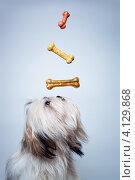 Купить «Собака породы Ши-тцу с костями», фото № 4129868, снято 30 апреля 2012 г. (c) chaoss / Фотобанк Лори