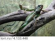 Купить «Две игуаны на ветках дерева в зоопарке», эксклюзивное фото № 4133448, снято 15 января 2012 г. (c) Алексей Гусев / Фотобанк Лори