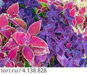 Купить «Колеус красный и фиолетовый крупным планом», фото № 4138828, снято 15 июня 2012 г. (c) Юрий Брыкайло / Фотобанк Лори