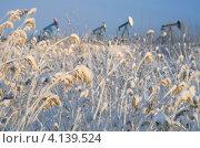 Купить «Тростник в снегу. Нефтяное месторождение.», фото № 4139524, снято 15 декабря 2012 г. (c) Икан Леонид / Фотобанк Лори