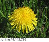 Одуванчик (лат. Taraxacum) Стоковое фото, фотограф lana1501 / Фотобанк Лори
