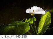 Купить «Цветок каллы на черном фоне», фото № 4145288, снято 10 декабря 2012 г. (c) Ольга Денисова / Фотобанк Лори