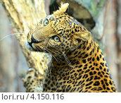 Купить «Леопард смотрит удивлённо», фото № 4150116, снято 16 сентября 2012 г. (c) Эдуард Кислинский / Фотобанк Лори