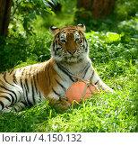 Купить «Тигр лежит  в траве», фото № 4150132, снято 16 сентября 2012 г. (c) Эдуард Кислинский / Фотобанк Лори
