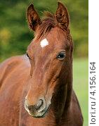 Купить «Лошадь на зеленой лужайке», фото № 4156164, снято 7 октября 2012 г. (c) Эдуард Кислинский / Фотобанк Лори