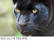 Купить «Морда чёрной пантеры», фото № 4156416, снято 5 августа 2012 г. (c) Эдуард Кислинский / Фотобанк Лори