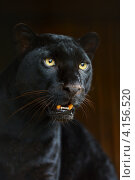 Купить «Портрет чёрной пантеры», фото № 4156520, снято 30 сентября 2012 г. (c) Эдуард Кислинский / Фотобанк Лори