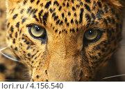 Купить «Морда леопарда, крупный портрет», фото № 4156540, снято 24 июня 2012 г. (c) Эдуард Кислинский / Фотобанк Лори