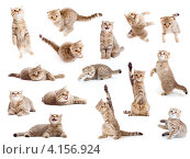 Купить «Рыжая британская кошка в разных позах, коллаж», фото № 4156924, снято 2 апреля 2011 г. (c) Андрей Кузьмин / Фотобанк Лори