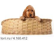 Рыжий щенок спаниеля. Стоковое фото, фотограф Ирина Подгорных / Фотобанк Лори