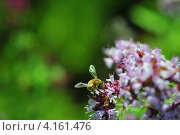 Пчелка. Стоковое фото, фотограф Елена Конькова / Фотобанк Лори