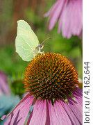 Купить «Бабочка лимонница (Gonepteryx rhamni) собирает нектар на цветке эхинацеи пурпурной (Echinacea purpurea)», эксклюзивное фото № 4162644, снято 27 июля 2012 г. (c) Елена Коромыслова / Фотобанк Лори
