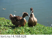 Купить «Хохлатая утка (лат. Lophonetta specularioides)», эксклюзивное фото № 4168628, снято 1 сентября 2009 г. (c) lana1501 / Фотобанк Лори