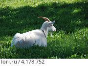 Купить «Домашняя коза (лат. Capra aegagrus hircus)», эксклюзивное фото № 4178752, снято 14 мая 2010 г. (c) lana1501 / Фотобанк Лори