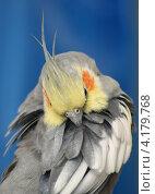 Попугай корелла чистит перья. Стоковое фото, фотограф Dmitry29 / Фотобанк Лори