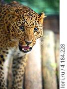 Купить «Портрет леопарда», фото № 4184228, снято 30 сентября 2012 г. (c) Эдуард Кислинский / Фотобанк Лори