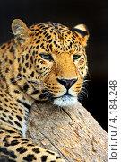 Купить «Портрет леопарда на тёмном фоне», фото № 4184248, снято 30 сентября 2012 г. (c) Эдуард Кислинский / Фотобанк Лори