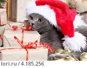 Купить «Красивый британский кот и новогодний колпак», фото № 4185256, снято 8 декабря 2012 г. (c) Останина Екатерина / Фотобанк Лори