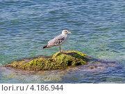 Купить «Черноморская чайка на прибрежном камне на фоне моря», фото № 4186944, снято 2 сентября 2012 г. (c) Владимир Сергеев / Фотобанк Лори