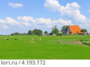 Купить «Овцы на пастбище возле фермы», фото № 4193172, снято 7 июля 2012 г. (c) Николай Кокарев / Фотобанк Лори