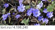 Купить «Печёночница благородная», фото № 4198240, снято 23 апреля 2011 г. (c) Анна Маркова / Фотобанк Лори