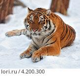 Купить «Тигр лежит на снегу», фото № 4200300, снято 13 января 2013 г. (c) Эдуард Кислинский / Фотобанк Лори