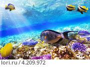 Купить «Кораллы и рыба-хирург в Красном море, Египет», фото № 4209972, снято 3 сентября 2012 г. (c) Vitas / Фотобанк Лори