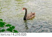 Купить «Чёрный лебедь (Cygnus atratus)», эксклюзивное фото № 4210020, снято 3 июля 2011 г. (c) Алёшина Оксана / Фотобанк Лори