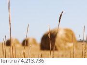 Пшеничный колос на фоне стогов сена. Стоковое фото, фотограф Андрей Дыкун / Фотобанк Лори