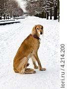 Купить «Салюки или персидская борзая на зимней прогулке», фото № 4214200, снято 19 января 2013 г. (c) Сергей Трофименко / Фотобанк Лори