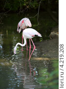 Фламинго. Стоковое фото, фотограф Светлана Мамина / Фотобанк Лори