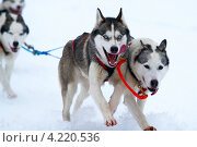Купить «Ездовые собаки», фото № 4220536, снято 20 января 2013 г. (c) yeti / Фотобанк Лори