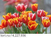 Купить «Сортовые садовые тюльпаны Апельдорн элита в грунте (малая глубина резкости)», фото № 4227936, снято 27 апреля 2012 г. (c) Ольга Липунова / Фотобанк Лори