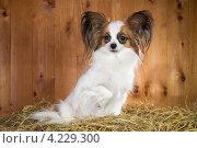 Купить «Собака породы папильон сидит на соломе», фото № 4229300, снято 25 января 2013 г. (c) Сергей Лаврентьев / Фотобанк Лори