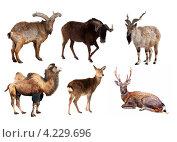 Коллаж с разными парнокопытными животными на белом фоне. Стоковое фото, фотограф Яков Филимонов / Фотобанк Лори