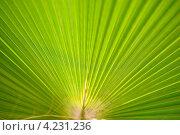 Пальмовый лист. Стоковое фото, фотограф Сергей Мальцев / Фотобанк Лори