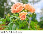 Цветы чайно-гибридной персиковой розы. Стоковое фото, фотограф Алёшина Оксана / Фотобанк Лори
