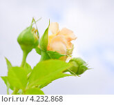Бутон розы. Стоковое фото, фотограф Алёшина Оксана / Фотобанк Лори