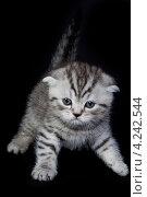 Котенок британской породы. Стоковое фото, фотограф Коржавин Александр / Фотобанк Лори