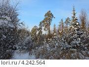 Смешанный лес зимой. Стоковое фото, фотограф Владимир Аликин / Фотобанк Лори
