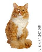 Купить «Рыжий пушистый кот на белом фоне», фото № 4247568, снято 3 мая 2011 г. (c) Владимир Блинов / Фотобанк Лори