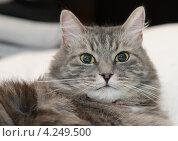 Купить «Серый пушистый сибирский кот», фото № 4249500, снято 28 декабря 2012 г. (c) Сурикова Ирина / Фотобанк Лори