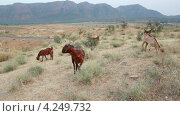 Купить «Пасущиеся козы в Индии», видеоролик № 4249732, снято 29 января 2013 г. (c) Михаил Коханчиков / Фотобанк Лори