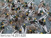 Купить «Стая уток на кормлении», эксклюзивное фото № 4251620, снято 20 января 2013 г. (c) Дмитрий Неумоин / Фотобанк Лори