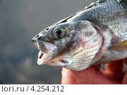 Рыбалка. Свежепойманная рыба язь. Карелия. Стоковое фото, фотограф Попкова Ольга / Фотобанк Лори
