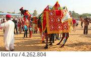 Конкурс на лучшее украшение верблюда, Индия (2013 год). Редакционное видео, видеограф Михаил Коханчиков / Фотобанк Лори
