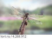 Купить «Стрекоза», фото № 4268912, снято 1 июня 2012 г. (c) Забалуев Игорь Анатолич / Фотобанк Лори
